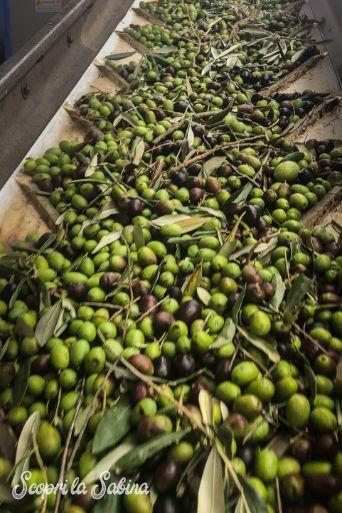 olio della sabina dop raccolta frantoio
