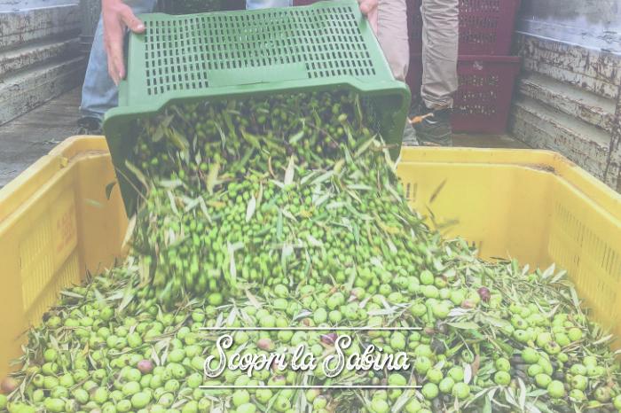 La raccolta delle olive, una tradizione secolare in Sabina