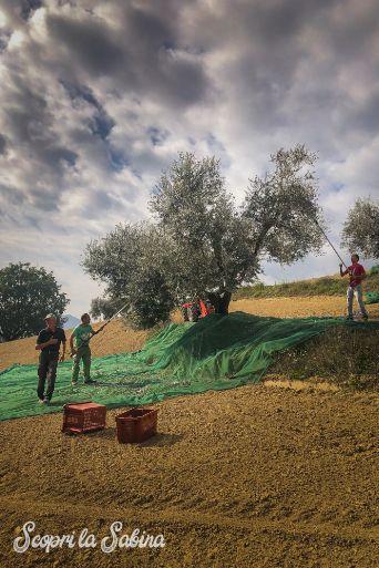 raccolta olive olio sabina dop